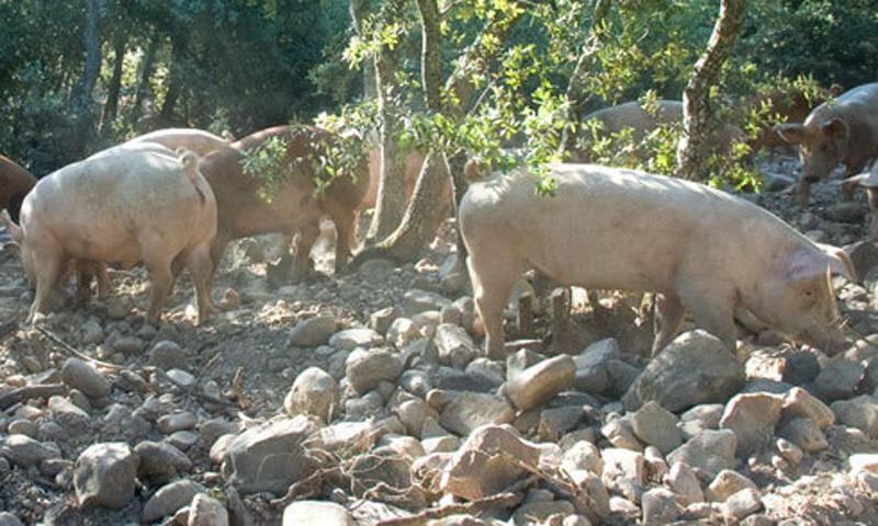 El Encinar de Ocón un espacio mágico para la cría de cerdos ecológicos